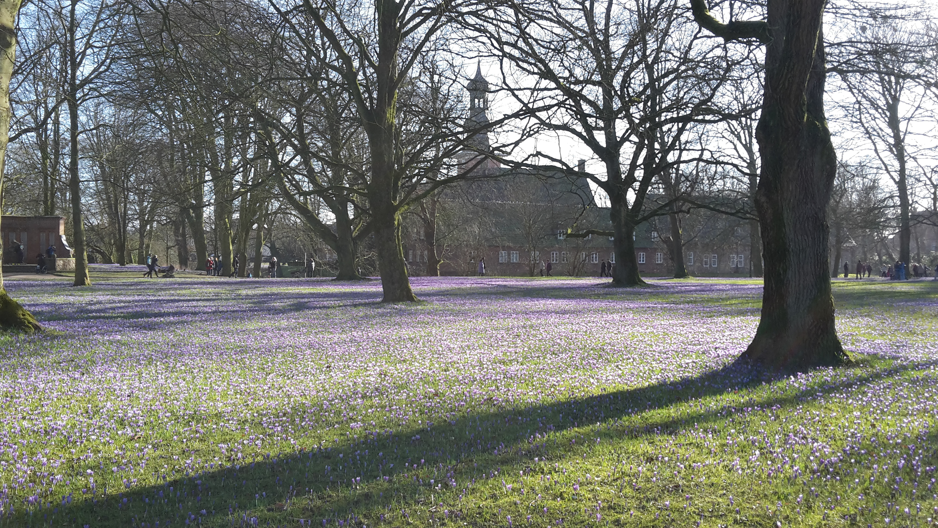 Krokusblüte mit Schloß vor Husum im Hintergrund